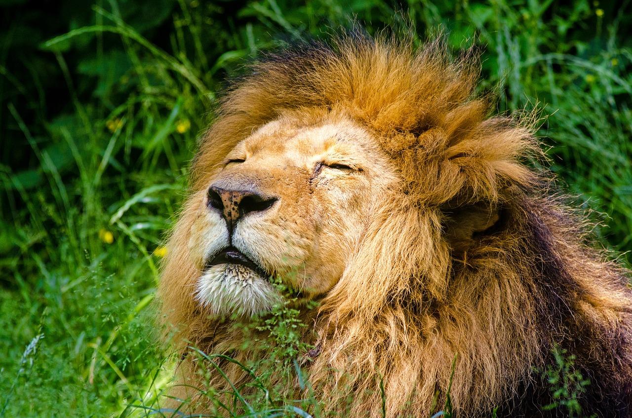 Afrika, Safari, Löwe