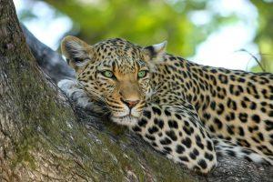 Afrika, Safari, Leopard, Singlereisen, Reisen für Alleinreisende