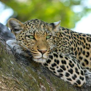 Afrika, Safari, Leopard