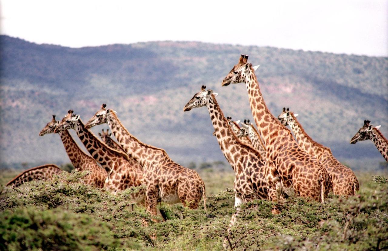 Afrika, Giraffe, Safari