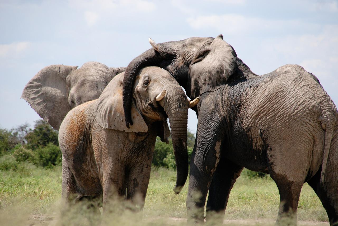 Afrika, Safari, Elefanten