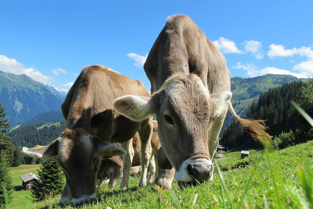 Österreich, Kühe, Alm